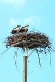 Osprey-Paare Stockfotos