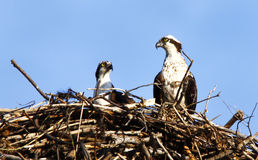 Osprey-Paare im Nest Stockfotos