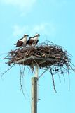 Osprey Pair Stock Photos