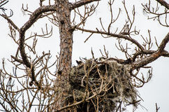 An osprey pair makes a nest Royalty Free Stock Images