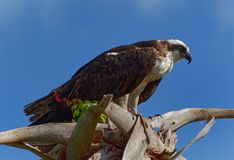 Osprey in palm tree Royalty Free Stock Photo