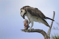 Osprey, pandion haliaetus. Eating fish Royalty Free Stock Photos