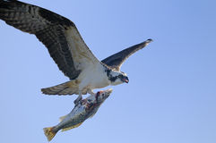 Osprey, pandion haliaetus. Flyby with a fish Stock Images