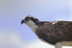 Osprey, pandion haliaetus. Looking at you Stock Image