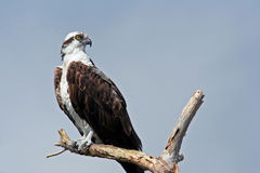 Osprey (Pandion haliaetus). An osprey (Pandion haliaetus) keeps a wary eye out Royalty Free Stock Images