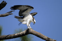 Osprey, pandion haliaetus Stock Photography