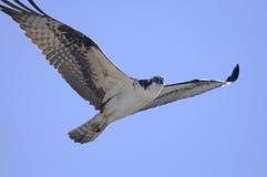 Osprey, Pandion haliaetus Stockfotos