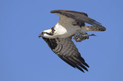 Osprey, pandion haliaetus Royalty Free Stock Photos