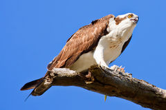 Osprey . Pandion haliaetus Stock Images