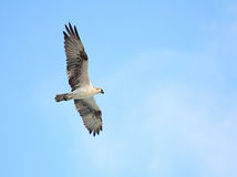 Osprey (Pandion haliaetus). In Cuba Stock Photos