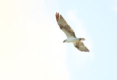 Osprey (Pandion haliaetus). In Cuba Royalty Free Stock Photography
