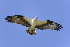 Osprey, pandion haliaetus Stock Image