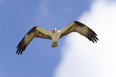 Osprey, Pandion haliaetus Lizenzfreie Stockfotos
