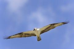 Osprey, pandion haliaetus Royalty Free Stock Images
