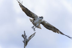 Osprey, pandion haliaetus Royalty Free Stock Photography