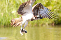 Osprey (pandion haliaetus) Stock Photos