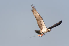 Osprey (pandion haliaetus) Stock Photo