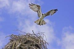 Osprey (Pandion haliaetus) Stock Images