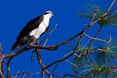 Osprey (Pandion Haliaetus) στοκ εικόνες με δικαίωμα ελεύθερης χρήσης