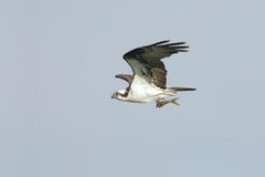 Osprey (Pandion haliaetus) lizenzfreies stockfoto