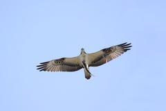 Osprey (Pandion haliaetus) stockfotos