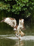 Osprey (Pandion haliaetus) Stock Photography