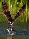 Osprey (Pandion haliaetus) Royalty Free Stock Images