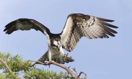 Osprey (Pandion haliaetus) Royalty Free Stock Images