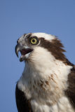 Osprey (Pandion haliaetus) Royalty Free Stock Photos