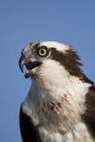 Osprey (Pandion haliaetus) Royalty Free Stock Photos