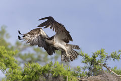 Osprey (Pandion haliaetus) Royalty Free Stock Photography