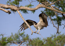 Osprey (Pandion haliaetus) Stock Image