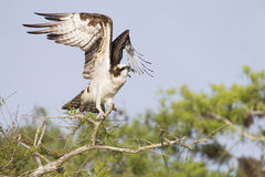 Osprey (Pandion haliaetus) Royalty Free Stock Photo