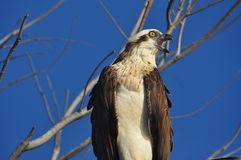 Osprey, Pandion haliaetus, on branch calling. This osprey is on branch calling for a mate in a seaside location on the edge of a busy built-up area Royalty Free Stock Image