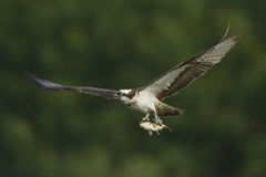 Osprey Pandion haliaetus carrying fish in flight Royalty Free Stock Images