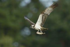 Osprey Pandion haliaetus carrying fish in flight Royalty Free Stock Photos