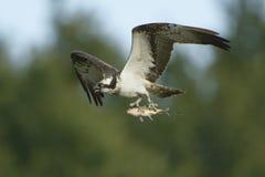 Osprey Pandion haliaetus carrying fish in flight Royalty Free Stock Photo