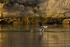 Osprey (Pandion haliaetus) catches fish. Royalty Free Stock Images