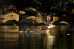 Osprey (Pandion haliaetus) catches fish. Stock Image