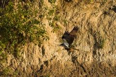 Osprey (Pandion haliaetus) catches fish. Stock Photos