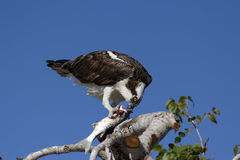 Osprey (Pandion haliaetus) Eating Fish Royalty Free Stock Images