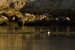 Osprey (Pandion haliaetus) fängt Fische ab. Stockfotos