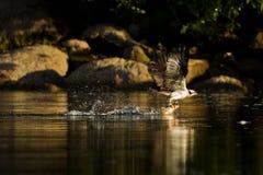 Osprey (Pandion haliaetus) fängt Fische ab. Stockbild