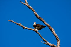 Osprey (Pandion haliaetus) with fish in claws Royalty Free Stock Photo