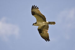 Osprey (Pandion haliaetus) in flight. Osprey (Pandion haliaetus) soaring over in inland lake in the hunt for fish Stock Images