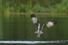 Osprey Pandion haliaetus in flight above water surface Stock Photo