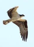 Osprey - Pandion haliaetus Royalty Free Stock Photo