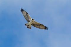 Osprey. (Pandion haliaetus) gliding utilizing rising air currents royalty free stock image