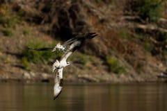 Osprey (Pandion haliaetus) im Flug. Lizenzfreies Stockfoto