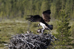 Osprey, Pandion haliaetus, Royalty Free Stock Photo